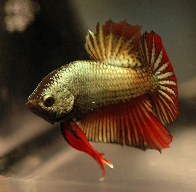 Betta. Copper/red dragonscale plakat | Aquatic Life ...  Betta. Copper/r...
