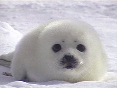 i want to help save the seals with paul watson, how could anyone kill something so beautiful                                                                                                                                                      More