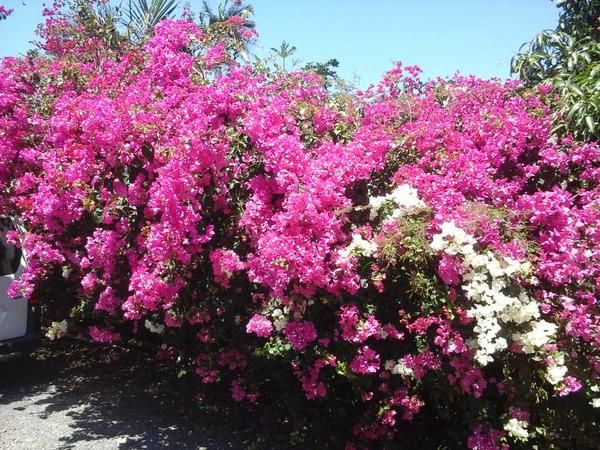 Brightly coloured bougainvillea flowers on Reunion Island. #FWSAreunion