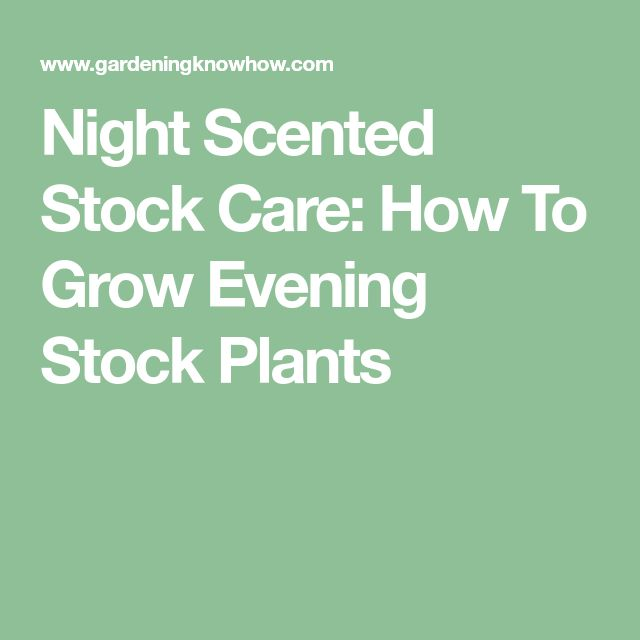 Night Scented Stock Care: How To Grow Evening Stock Plants