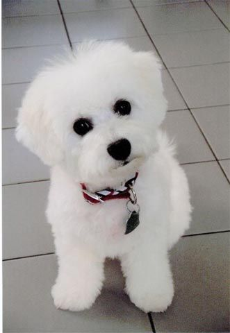 Bichon Frise: Doggie, Dogs, Bichon S, Bichon Frise So, Puppy, Animal