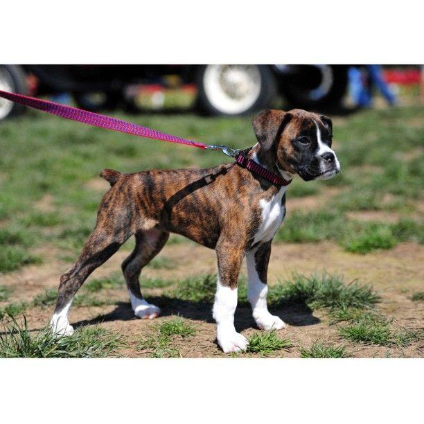 aww I want a brindle boxer puppy!! I think Nikita needs a friend!!!