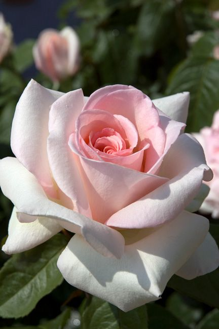 MEILLAND International | Rosiers de Jardin | Grandes fleurs,Anthony Meilland rose