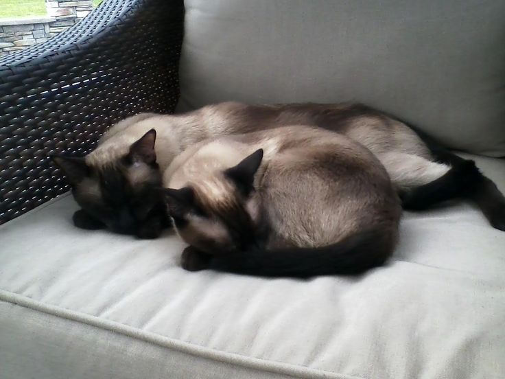 i love siamese cats (: