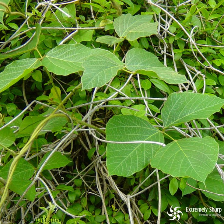 devils plant kudzu essay An extract of the chinese herb kudzu dramatically reduces drinking and may be useful in the treatment of alcoholism and curbing binge drinking, according to a new study by mclean hospital and.
