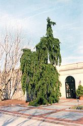 Click to view full-size photo of Weeping Norway Spruce (Picea abies 'Pendula') at Kackenhoff Nursery