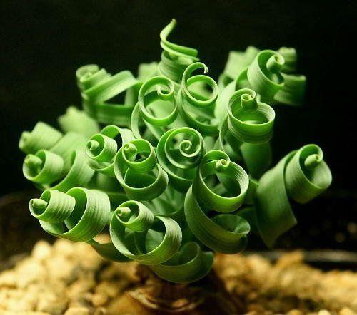 """Moraea Tortilis """"Spiral Grass"""" :: top ten succulent varieties unusual beginner plants gardening garden pots potting"""