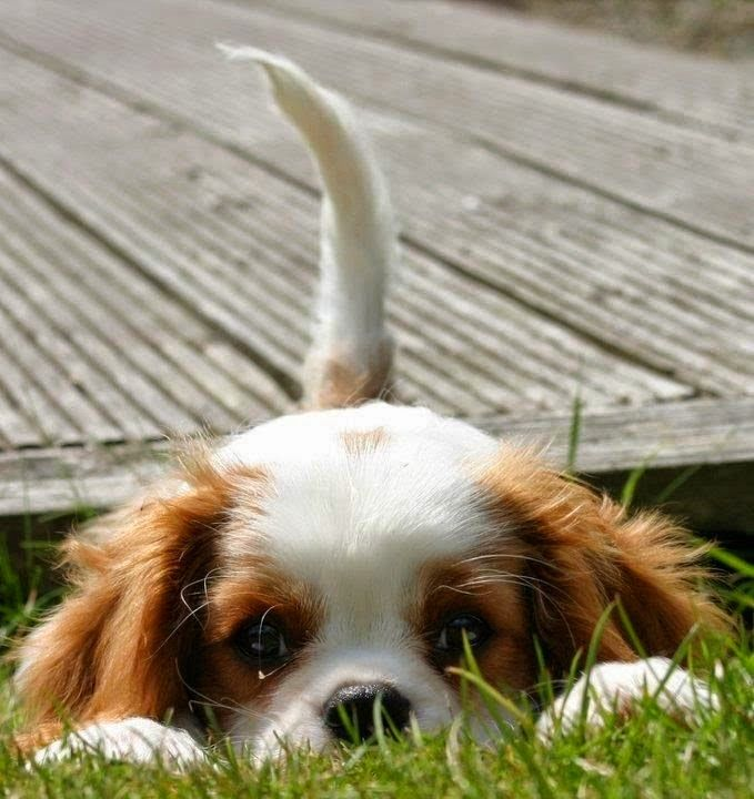 10 Dogs That Are Ideal For Small Apartments - Cavalier King Charles Spaniel