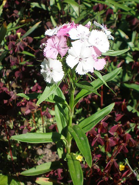 Klinček je dvojročná kvetina až 50 cm vysoká s pestrými kvetmi. Hodí sa na záhony aj k rezu.  http://www.semena-osiva.sk/osivo-kvetin-osiva/171-klincek-bradaty-semena-05-g.html