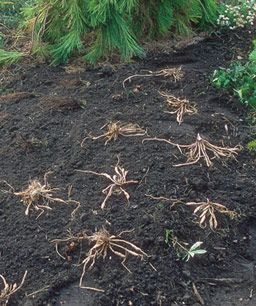 10 Tips on Dividing Perennial Plants. Also gives a listing of plants and when the best time of year is to split them.