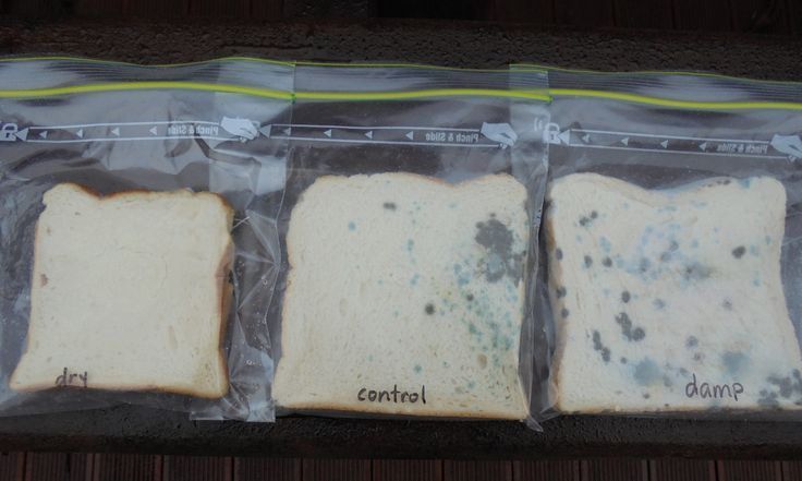 Investigating dampness and mould growth - STUDENT ACTIVITY. In this activity, students use bread slices to investigate the role of moisture in mould growth.