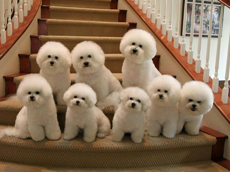 Group of Bichons