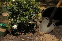 How to Dig and Replant a Gardenia Bush | eHow