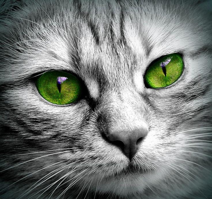 Cat, Face, Tigre, Fermer, Yeux, Chat De Visage, Chat