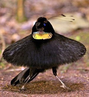 "Western parotia: known for its 6 head wires & ballerina-like ""tutu"" of stiff feathers. Male parotias flash their iridescent breast feathers as they display for females. Each male clears a patch of forest floor several feet across, creating a stage where he performs a bizarre dance: hopping, prancing sideways, curtsying, & bobbing his head. Photo: Tim Laman"