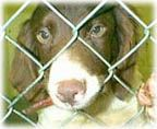 American Brittany Rescue :: American Brittany Rescue things to think about before breeding your dog.