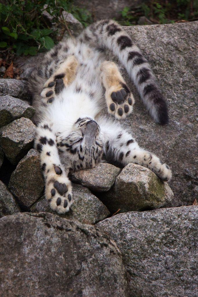 Best 20+ Baby snow leopard ideas on Pinterest | Snow tiger ...