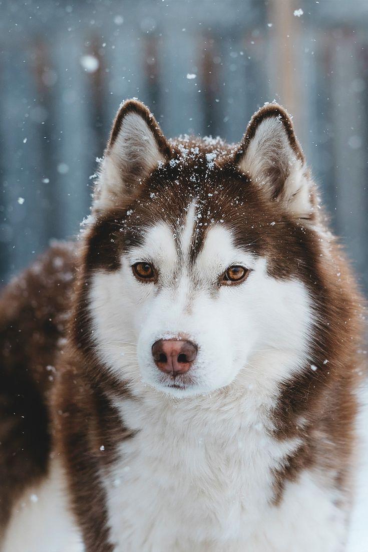 Home Di 2020 Siberian Husky Anak Anjing Lucu