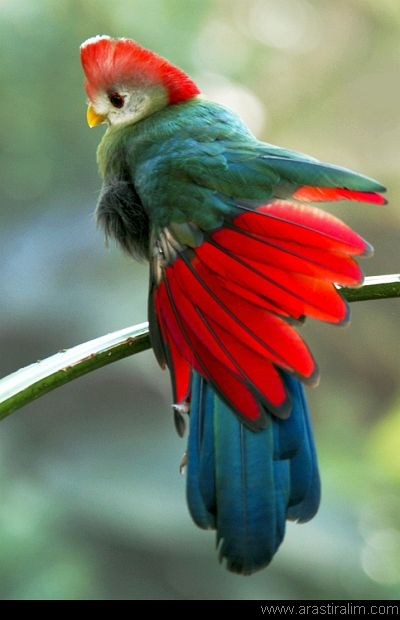 Red crested turaco. I never knew there are so many incredibly beautiful birds.