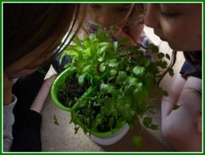 Growing herbs in winter is easy to do and there are only a few things you need. Handy Herbs Kit For Kids.
