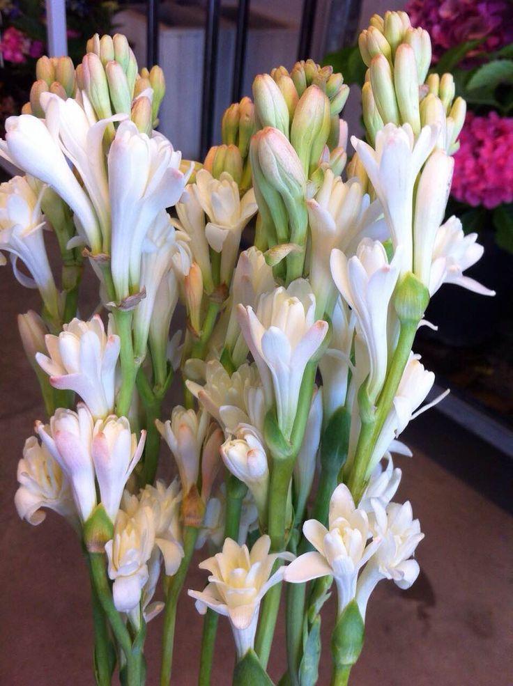 Nardos flores para verano flores y plantas de - Plantas de temporada primavera ...