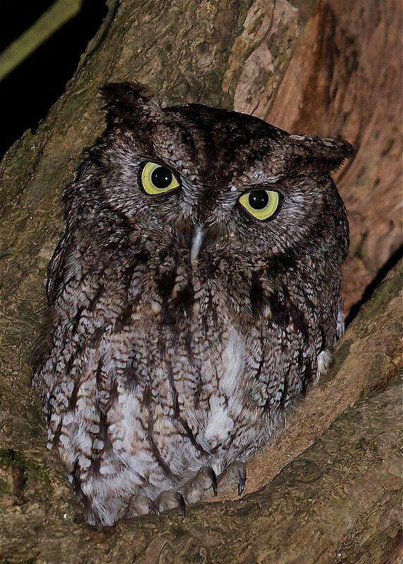 Western screech owl | Whoo!! | Pinterest