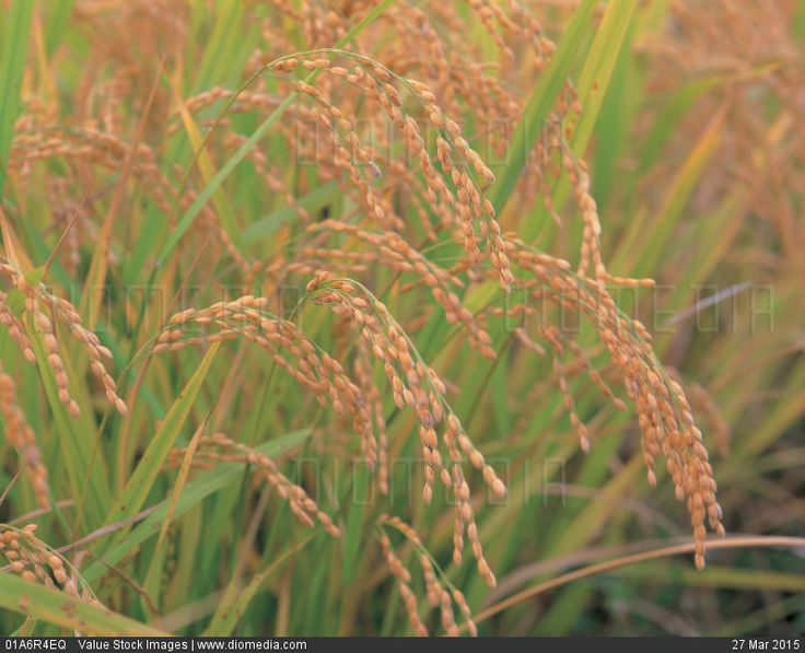 scenery, fall, landscape, natural world, nature, rice - stock photo