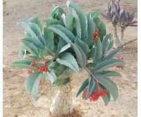 Sementes de Uva Da Namibia (Cyphostemma Juttae)