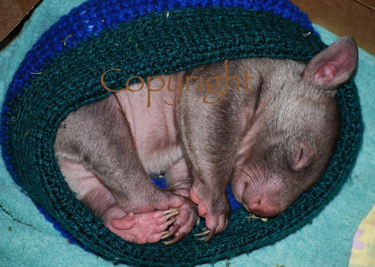 Baby Wombat Spud in a hat photo card. http://rocklilywombats.com/shop/