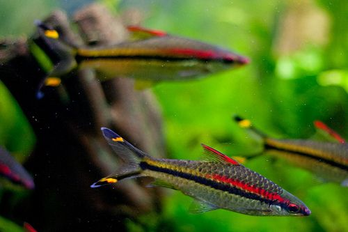 aquascape: Denison barb