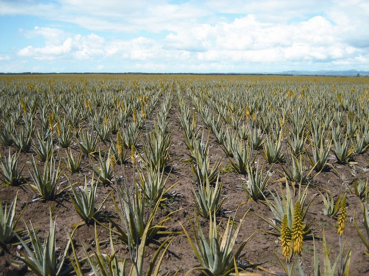 FLP Aloe Vera is carefully stabilised using fruit and vegetable sources, instead of being preserved chemically. It's tested by third party laboratories even 5 years after stabilisation, Forever's Aloe is still essentially identical to freshly harvested Aloe! http://link.flp.social/Ltxntu