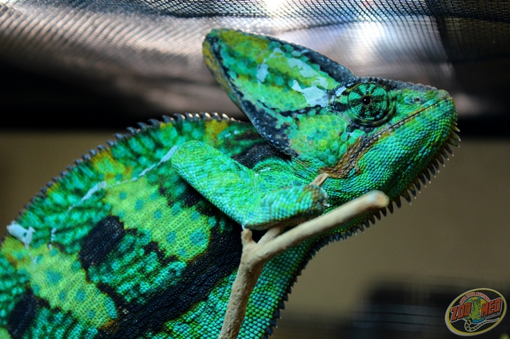 our veiled chameleon showing his colors like a