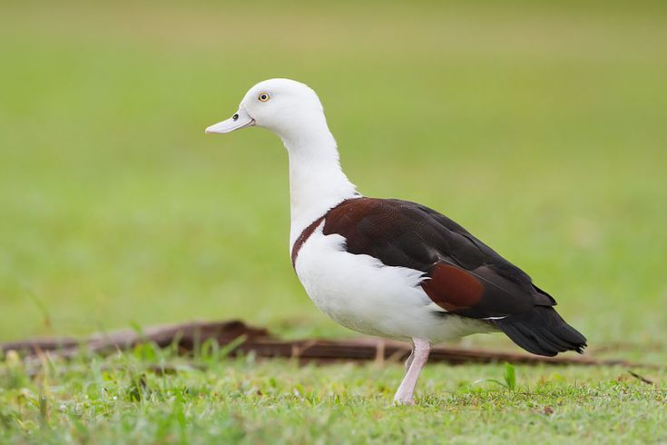 A Raja Shelduck (Tadorna radjah) at Centenary Lakes in Cairns, Australia. It prefers the brackish waters of mangrove flats and paperbark tree swamps, but will live elsewhere during the wet season. It feeds mainly on molluscs, insects, sedge materials and algae. (Photograph: JJ Harrison)