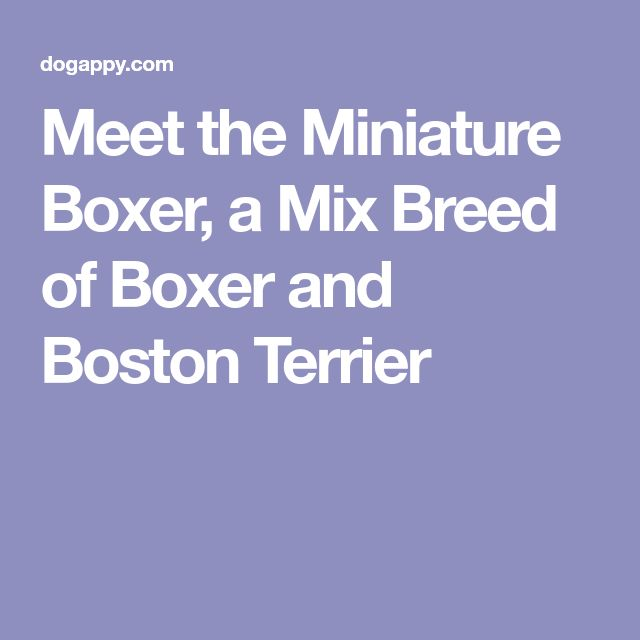 Meet the Miniature Boxer, a Mix Breed of Boxer and Boston Terrier
