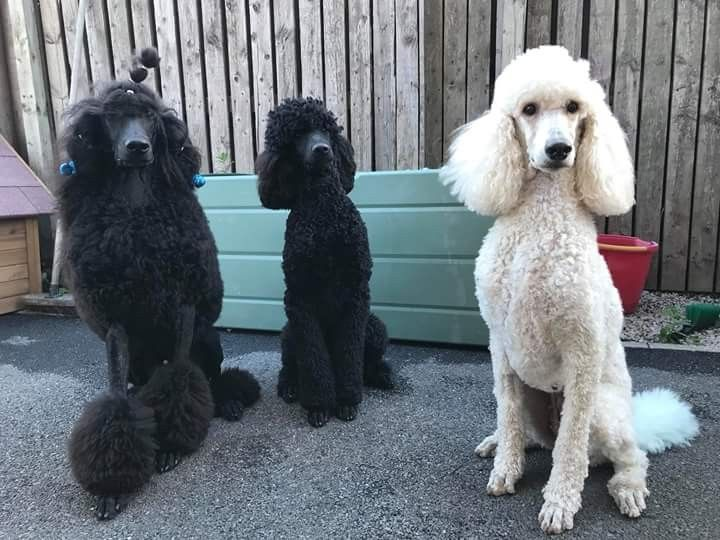 Pin By Randi Tarillion On Standard Poodles Cute Animals Dog