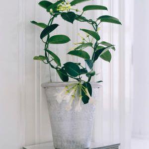 les 25 meilleures id es de la cat gorie jasmin grimpant sur pinterest plant de jasmin plante. Black Bedroom Furniture Sets. Home Design Ideas