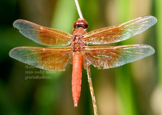 karen's dragonfly
