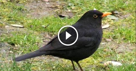 Számos gyönyörűen csicsergő madarat hallhatunk nap mint nap az erdőkben, parkokban vagy épp a kertünkben. Bár nem mindig látjuk ezeket a parányi madarakat, a most következő hangválogatás képekkel segíthet beazonosítani őket.