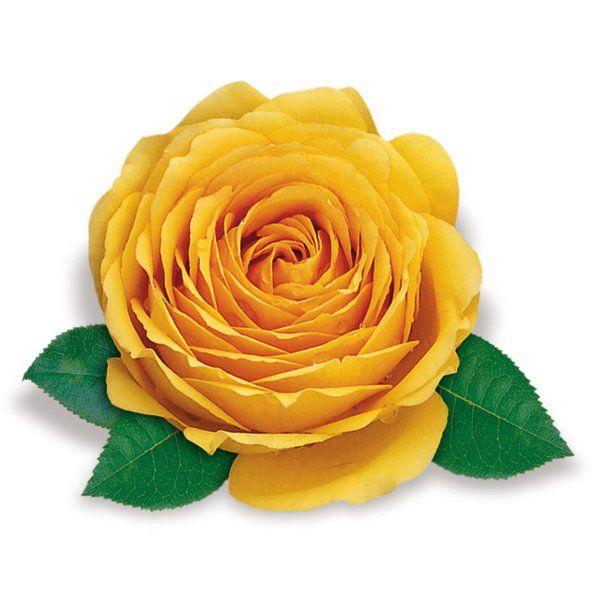 Róża wielkokwiatowa żółta - Rosa 'Casanova'