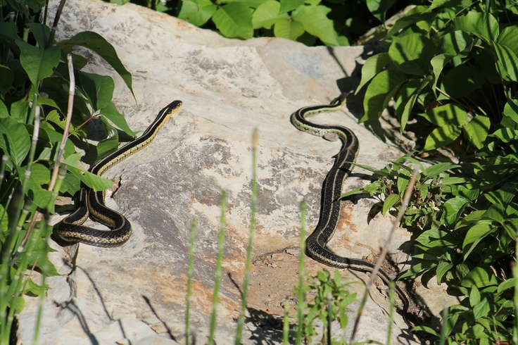 2 gardner snakes sunnin themselves.