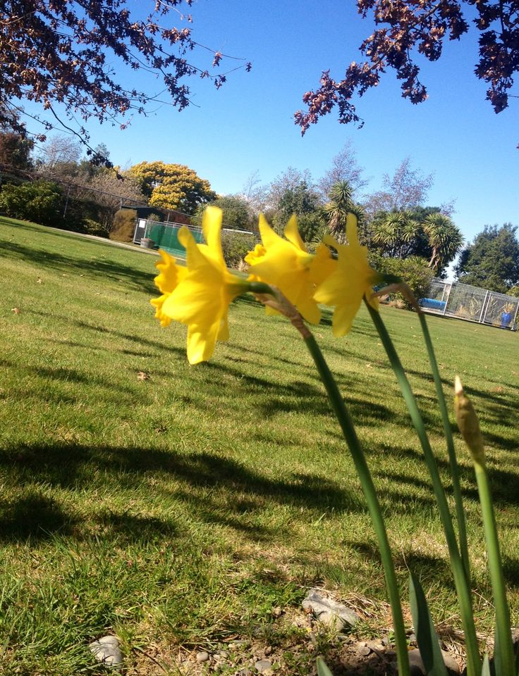 Spring has arrived! #daffodils