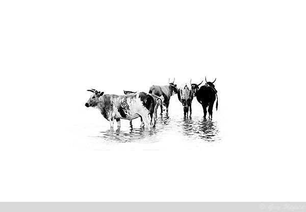 Nguni Cattle abstract5