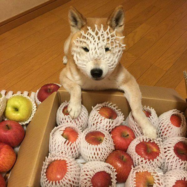 柴犬 suzu11 on