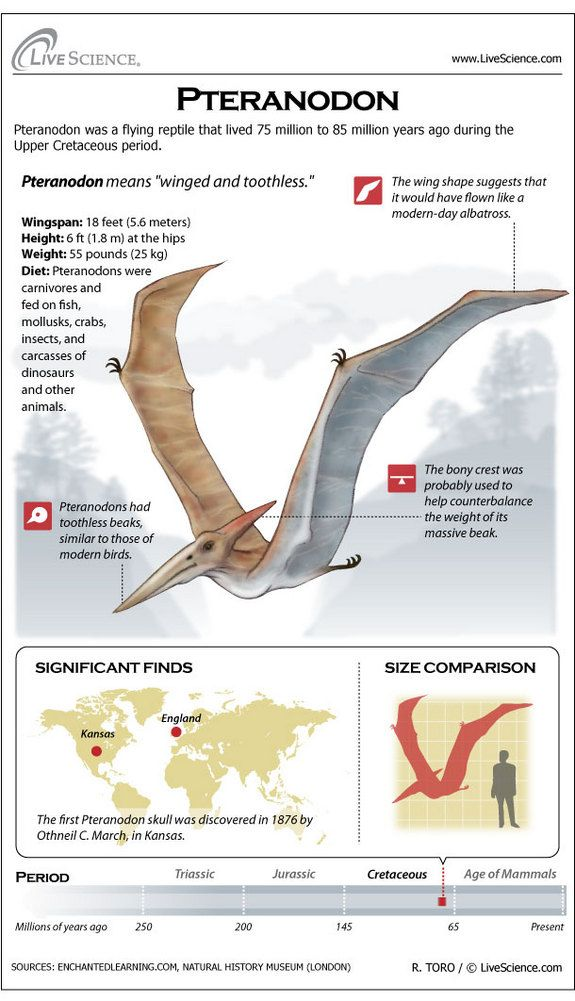 Infographic: profile of the toothless flying reptile Pteranodon
