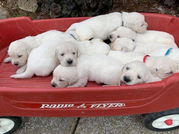 Park Art|My WordPress Blog_Golden Retriever Puppies Maryland Free