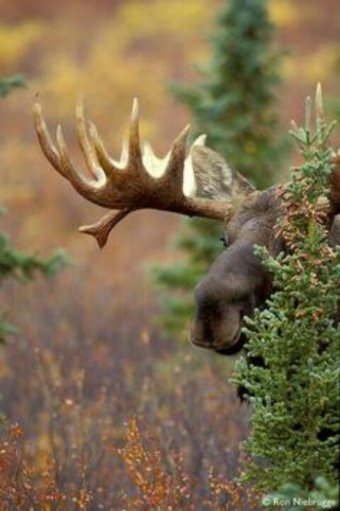 He's such a happy moose :)