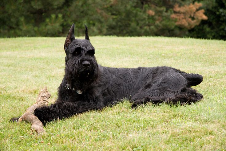 Giant Schnauzer is a great long haired dog, hunting dog perfect for guarding, black haired dog, courageous dog