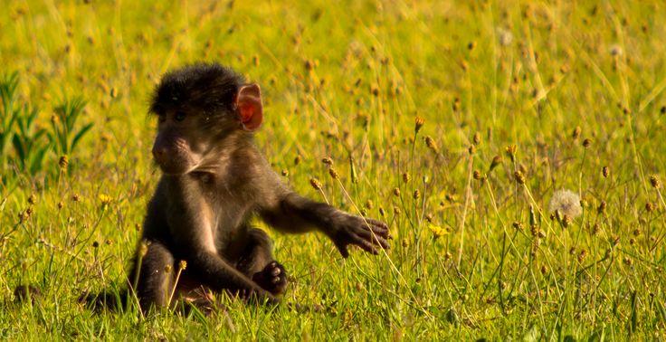 Tokai, Cape Town. baby baboon
