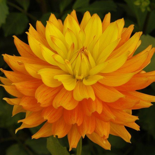 """CANDLELIGHT (BSC) Introduced in 2004. As beautiful as candlelight, these 6"""" blooms are a soft orange blending to a rich golden yellow. One of our best cutflowers, it has excellent keeping qualities and is a fantastic fall color that just glows in arrangements. Grows on a strong and sturdy 4' bush that produces wonderfully long stems for cutting. A must have for the cut flower lover. Recommended as a cut flower.  Swan Island Dahlias - $ 7.95"""