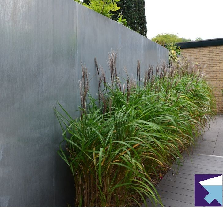 Miscanthus against a grey concrete wall